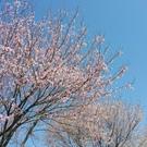 桜の開花始まりました!!