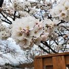 桜8分咲き!!(^○^)